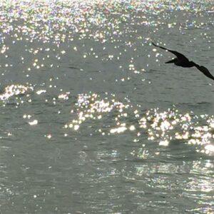Pelican at Anna Maria Island Florida