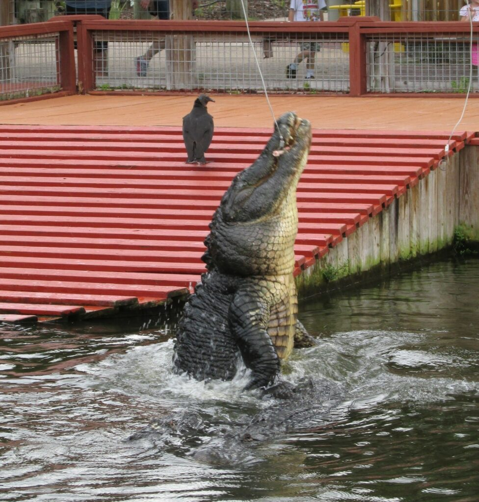 Picture of a leaping alligator is from Gatorland, which I dragged my family to. Gatorland is worth visiting if you want to see alligators. They have small ones, big ones, huge ones and even white ones.