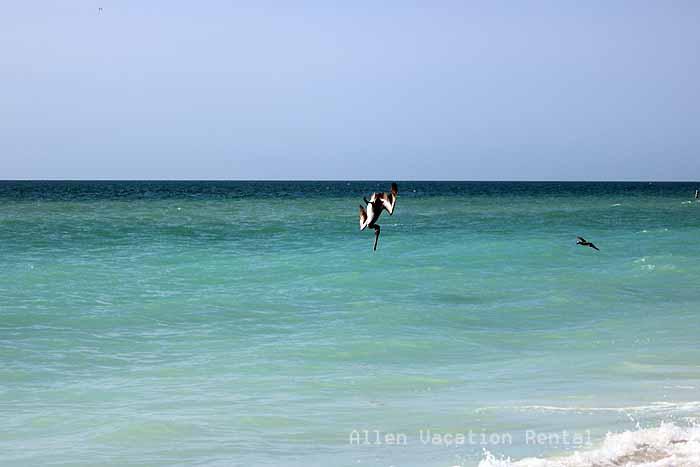 Pelicans diving at Holmes Beach